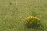 Broom Snakeweed in meadow