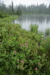 Rosy Spiraea at edge of Picture Lake in rain