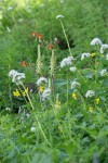 Bracted Lousewort, Columbine, Mountain Arnica, Sitka Valerian in meadow