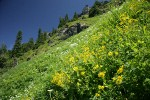 Mountain Arnica, Cow Parsnips, Sitka Valerian in hillside subalpine meadow