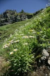 Wandering Daisies in hillside subalpine meadow