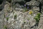 Alpine Goldenrod & Scotch Bluebells in cracks on rock cliff