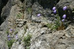 Scotch Bluebells in cracks on rock cliff