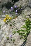 Alpine Goldenrod in crack on rock cliff w/ Scotch Bluebells soft bkgnd