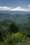 Mountain Arnica & Edible Thistle w/ clearcut forest & Mt. Baker bkgnd