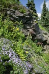 Spreading Phlox, Mountain Arnica, Bracted Lousewort, Red Columbine, Davidson's Penstemon on rock cliff