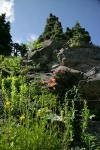 Mountain Arnica, Red Columbine, Davidson's Penstemon on rock cliff
