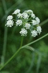 Water Parsnip blossoms