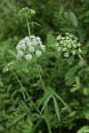 Water Parsnip blossoms & foliage