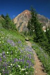 Sitka Valerian & Broadleaf Lupines along High Pass Trail toward Mt. Larrabee bkgnd