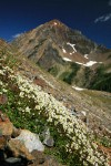 Tolmie's Saxifrage on screen slope w/ Mt. Larrabee bkgnd