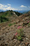 Lewis's Monkeyflower on screen slope w/ Mt. Baker bkgnd