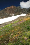 Carpet of Mountain Monkeyflower & Alpine Willow-herb w/ Mt. Larrabee bkgnd