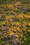 Carpet of Mountain Monkeyflower & Alpine Willow-herb