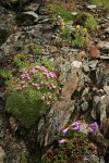 Moss Campion, Davidson's Penstemon, Alpine Gold Daisies on fractured rock