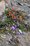Davidson's Penstemon & Cliff Paintbrush on alpine scree