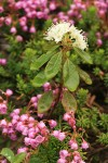 Western Labrador Tea surrounded by Pink Heather
