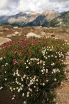 White & Pink Heathers w/ mountain ridge soft bkgnd