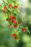 Red Huckleberry fruit & foliage