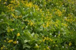 Mountain Arnica among Green Corn Lilies