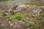 Dwarf Subalpine Firs on rocky slope