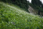 Sitka Valerian, Green Corn Lilies, American Bistort in subalpine meadow