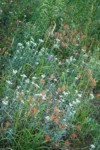 Giant Red Paintbrush & Pearly Everlasting