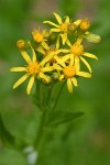 Arrowhead Butterweed blossoms detail