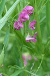 Everlasting Pea blossoms