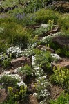 Natural rock garden w/ Hood's Phlox, Sticky Paintbrush, Lupines