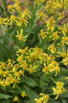 Thick-leaved Groundsel