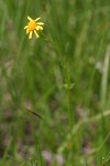 Mountain-marsh Butterweed