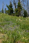 Dry hillside flower meadow w/ Lupines, Knotweed, and Penstemons