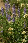 Silky Lupines & Sulphur Penstemons in dry hillside meadow