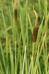 Broadleaf Cattail blossoms & foliage