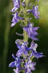 Tall Meadow Larkspur blossoms detail