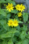 Mountain Arnica blossoms & foliage