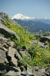 Soft Arnica & Edible Thistle on rocky ridge w/ Glacier Peak soft bkgnd