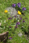 Soft Arnica & Small-flowered Penstemon