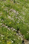 Meadow filled w/ Subalpine Daisies
