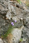 Scotch Bluebells in crack of rock cliff