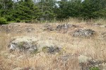 Reindeer Lichens on open rocky slope among grasses w/ Douglas-firs bkgnd