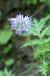 Western Waterleaf
