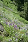 Spurred Lupines in xeric meadow w/ Small-flowered Penstemon, Harsh Paintbrush
