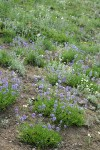 Small-flowered Penstemon in xeric meadow w/ Subalpine Mariposa Lilies
