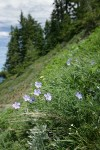 Western Blue Flax in steep hillside meadow