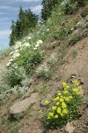 Sulphur Buckwheat, Heartleaf Buckwheat in steep hillside xeric meadow