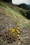 Spreading Stonecrop in steep hillside xeric meadow