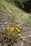 Spreading Stonecrop in xeric meadow