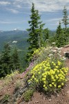 Sulphur Buckwheat, Yarrow, Rock Penstemon, Spotted Saxifrage on rocky cliff w/ mountains bkgnd